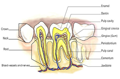 Internal Teeth structure