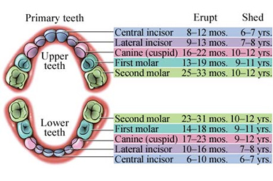 Know your teeth